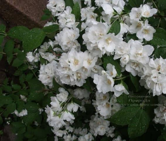 Бузок Букет Бланк (Жасмин садовий Білий Букет) ФОТО Розплідник рослин Природа (2)