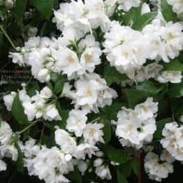 Чубушник Букет Бланк (Жасмин садовый Белый Букет) ФОТО Питомник растений Природа (3)