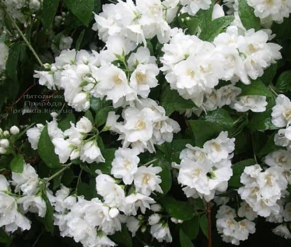 Бузок Букет Бланк (Жасмин садовий Білий Букет) ФОТО Розплідник рослин Природа (3)