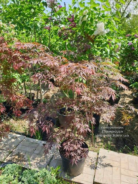 Клён японский Атропурпуреум (Acer palmatum Atropurpureum) ФОТО Питомник растений Природа (1)