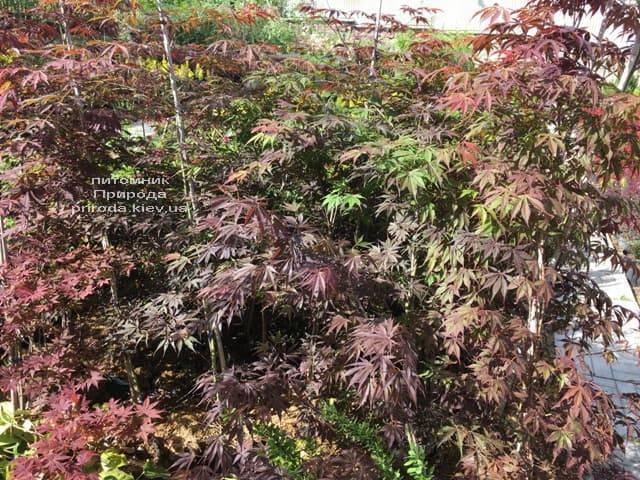 Клён японский Атропурпуреум (Acer palmatum Atropurpureum) ФОТО Питомник растений Природа (2)