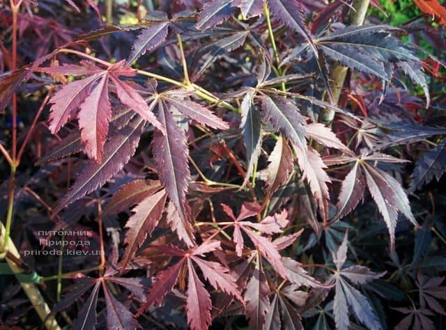 Клён японский Атропурпуреум (Acer palmatum Atropurpureum) ФОТО Питомник растений Природа (3)