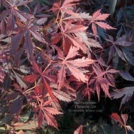 Клён японский Атропурпуреум (Acer palmatum Atropurpureum) ФОТО Питомник растений Природа (4)