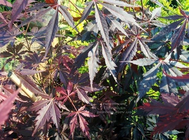 Клён японский Атропурпуреум (Acer palmatum Atropurpureum) ФОТО Питомник растений Природа (5)