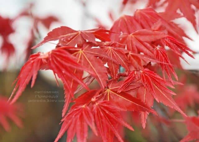 Клен японський Бені Майко (Acer palmatum Beni Maiko) ФОТО Розплідник рослин Природа (1)