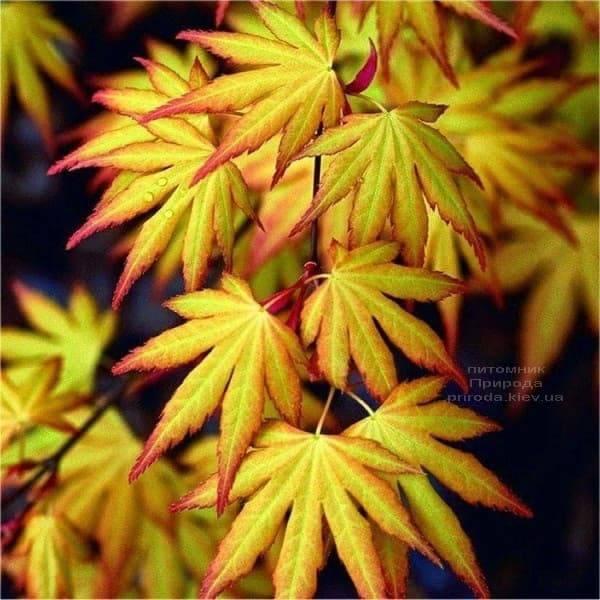Клен японський Катсура (Acer palmatum Katsura) ФОТО Розплідник рослин Природа (2)
