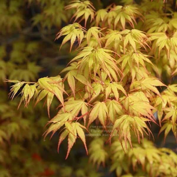 Клен японський Катсура (Acer palmatum Katsura) ФОТО Розплідник рослин Природа (3)