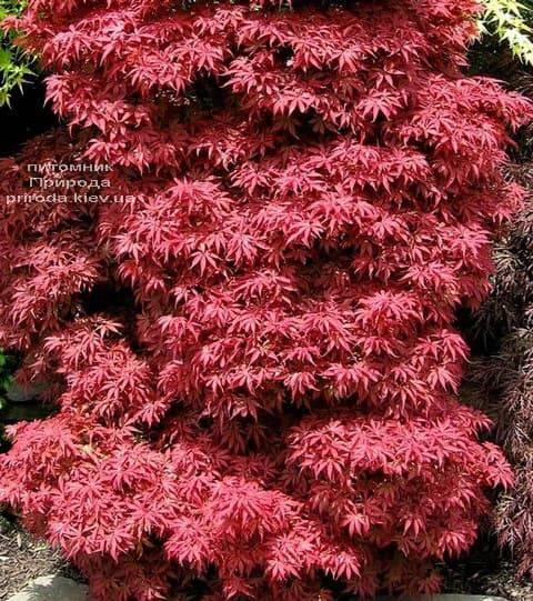 Клён японский Скитерс Брум (Acer palmatum Skeeters Broom) ФОТО Питомник растений Природа (1)