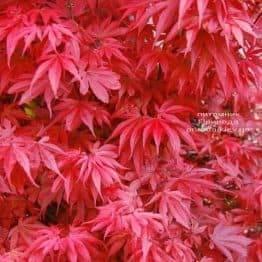 Клен японський Скітерс Брум (Acer palmatum Skeeters Broom) ФОТО Розплідник рослин Природа (2)