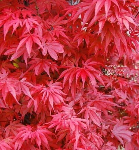 Клён японский Скитерс Брум (Acer palmatum Skeeters Broom) ФОТО Питомник растений Природа (2)