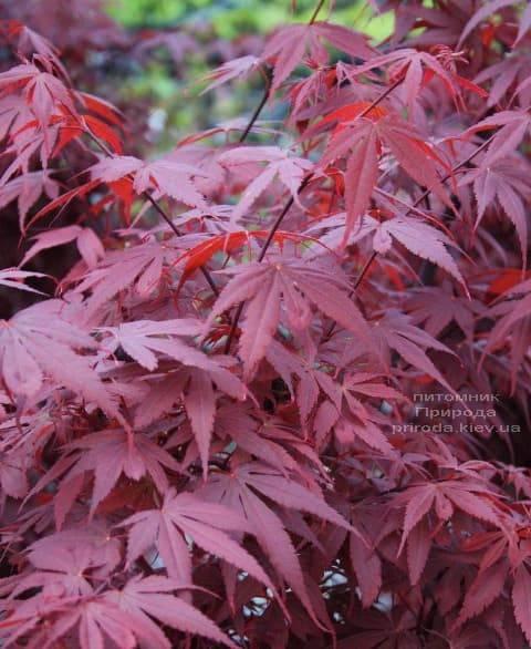 Клён японский Скитерс Брум (Acer palmatum Skeeters Broom) ФОТО Питомник растений Природа (3)