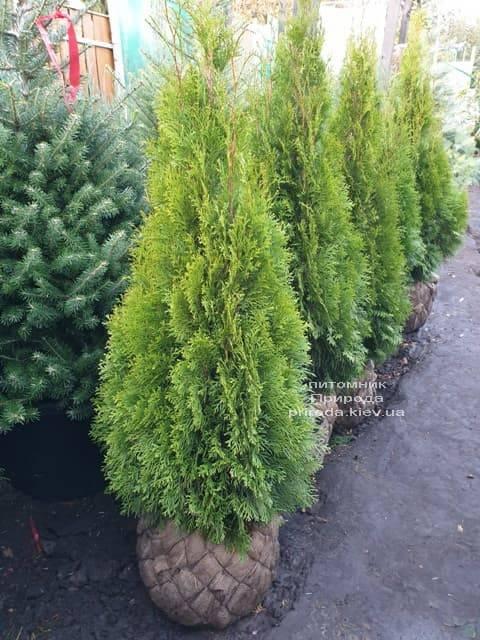 Туя западная Смарагд (Thuja occidentalis Smaragd) ФОТО Питомник растений Природа (100)