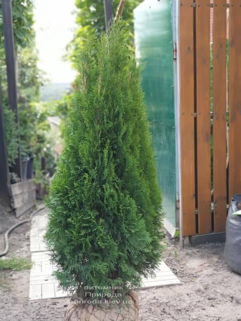 Туя западная Смарагд (Thuja occidentalis Smaragd) ФОТО Питомник растений Природа (95)