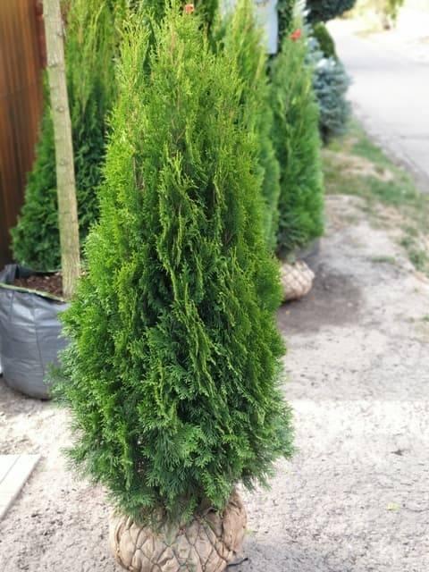 Туя западная Смарагд (Thuja occidentalis Smaragd) ФОТО Питомник растений Природа (96)