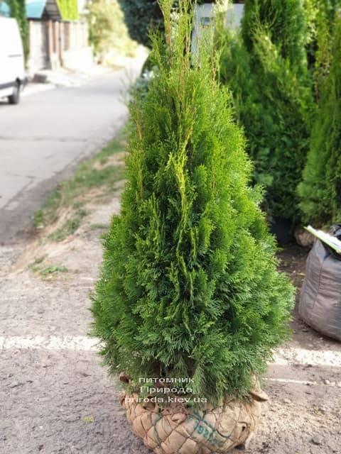 Туя западная Смарагд (Thuja occidentalis Smaragd) ФОТО Питомник растений Природа (97)