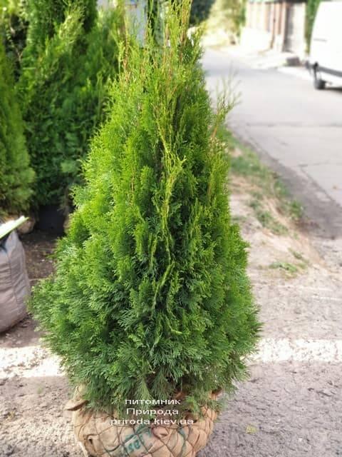 Туя западная Смарагд (Thuja occidentalis Smaragd) ФОТО Питомник растений Природа (99)