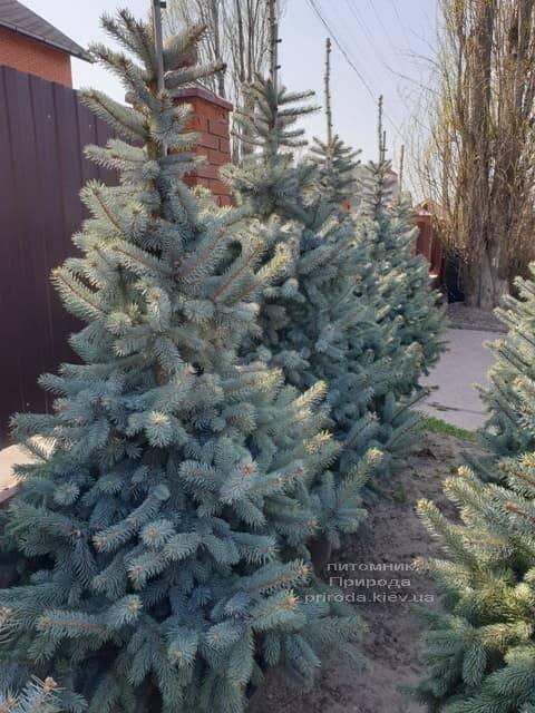 Ель голубая Хупси (Picea pungens Hoopsi) ФОТО Питомник растений Природа (20)