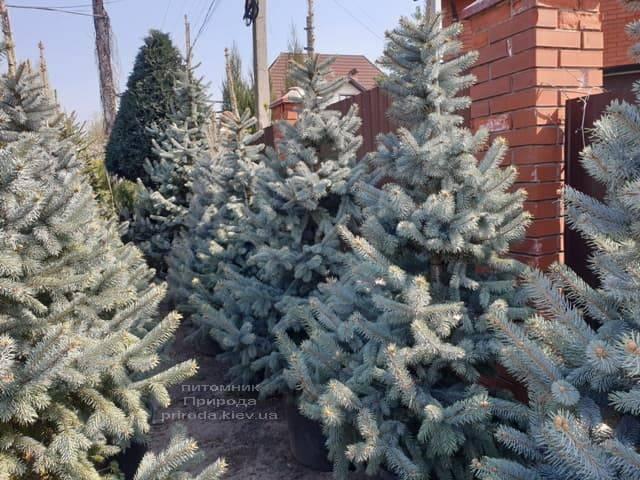 Ель голубая Хупси (Picea pungens Hoopsi) ФОТО Питомник растений Природа (21)