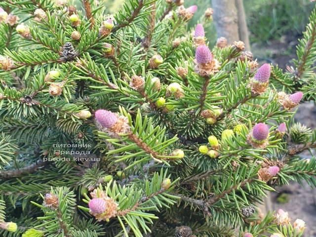 Ель обыкновенная Пуш (Picea abies Pusch) ФОТО Питомник растений Природа (4)