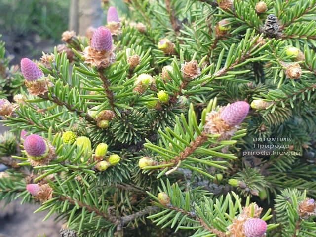 Ель обыкновенная Пуш (Picea abies Pusch) ФОТО Питомник растений Природа (5)