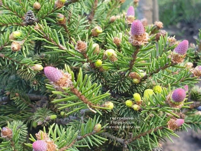 Ялина звичайна Пуш (Picea abies Pusch) ФОТО Розплідник рослин Природа (6)