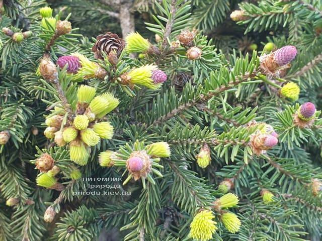 Ялина звичайна Пуш (Picea abies Pusch) ФОТО Розплідник рослин Природа (7)