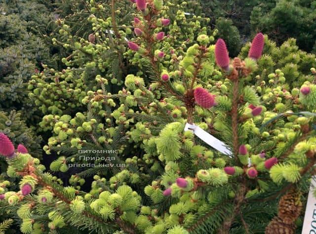 Ель обыкновенная Пуш (Picea abies Pusch) ФОТО Питомник растений Природа (8)