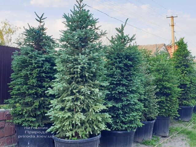 Ель Глаука 180-280 см в горшке 230 литров. Питомник растений Природа