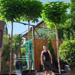 Катальпа бигнониевидная Нана (Catalpa bignoides Nana) на штамбе ФОТО Питомник растений Природа (7)