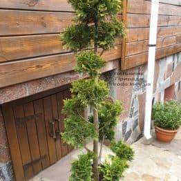 Бонсай Кипарисовик Лавсона Івонне (Chamaecyparis lawsoniana Ivonne) ФОТО Розплідник рослин Природа (1)