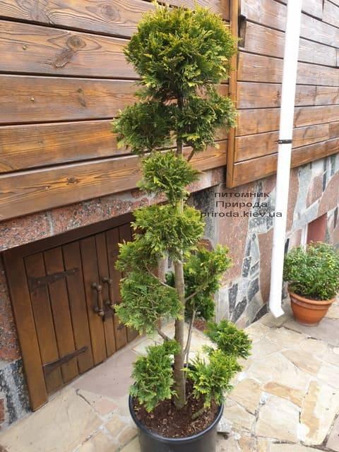 Бонсай Кипарисовик Лавсона Ивонне (Chamaecyparis lawsoniana Ivonne) ФОТО Питомник растений Природа (1)