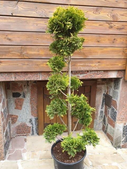 Бонсай Кипарисовик Лавсона Ивонне (Chamaecyparis lawsoniana Ivonne) ФОТО Питомник растений Природа (2)