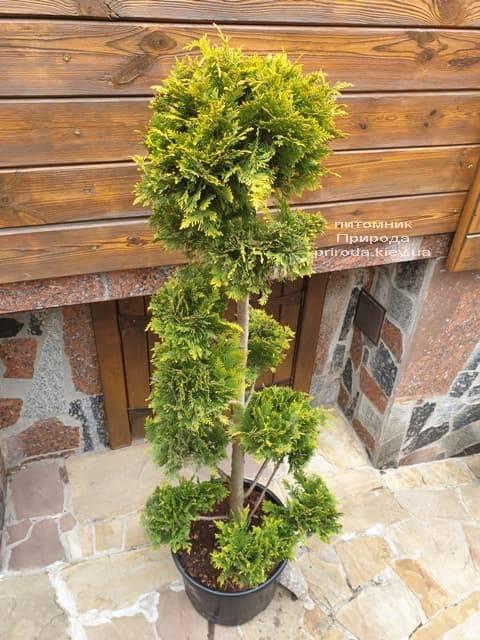 Бонсай Кипарисовик Лавсона Ивонне (Chamaecyparis lawsoniana Ivonne) ФОТО Питомник растений Природа (3)