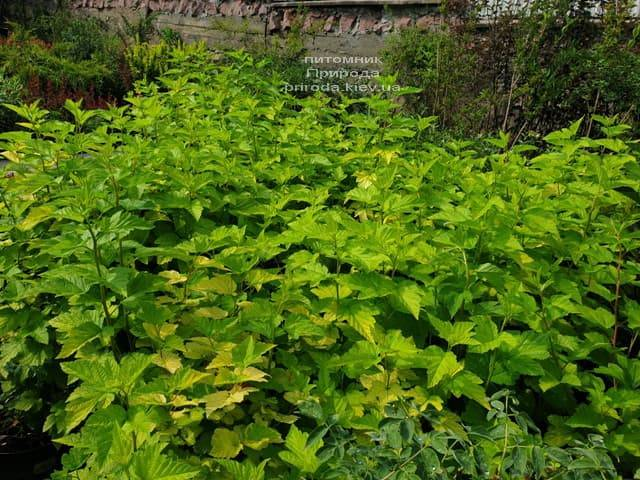 Пузыреплодник калинолистный Лютеус (Physocarpus opulifolius Luteus) ФОТО Питомник растений Природа (14)