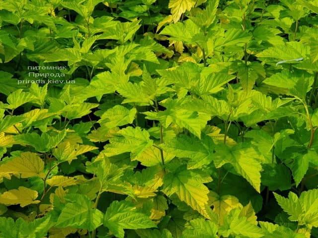 Пузыреплодник калинолистный Лютеус (Physocarpus opulifolius Luteus) ФОТО Питомник растений Природа (15)