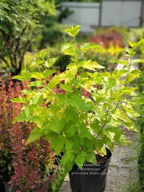 Пузыреплодник калинолистный Лютеус (Physocarpus opulifolius Luteus) ФОТО Питомник растений Природа (16)