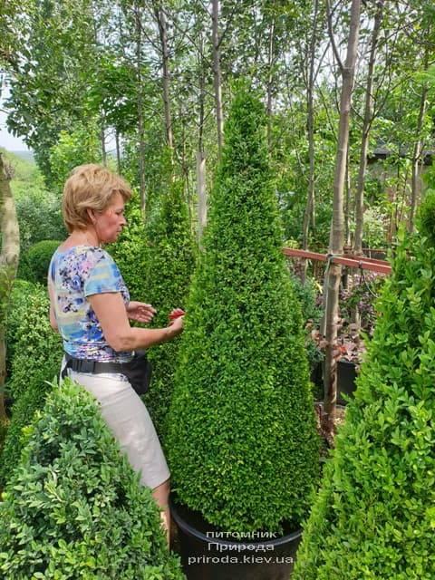 Самшит вечнозелёный Конус (Buxus sempervirens Konus) ФОТО Питомник растений Природа (14)