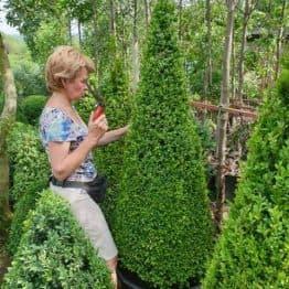 Самшит вечнозелёный Конус (Buxus sempervirens Konus) ФОТО Питомник растений Природа (15)
