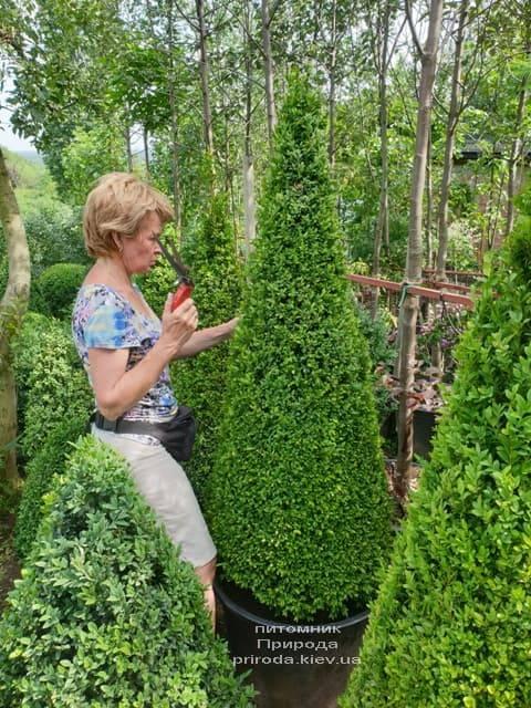 Самшит вічнозелений Конус (Buxus sempervirens Konus) ФОТО Розплідник рослин Природа (15)