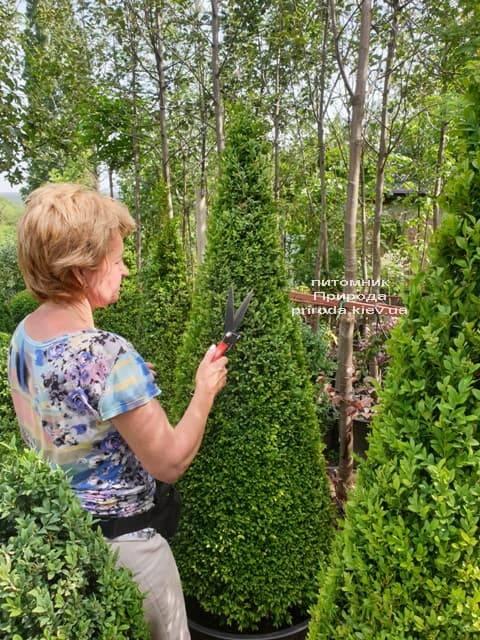Самшит вечнозелёный Конус (Buxus sempervirens Konus) ФОТО Питомник растений Природа (17)