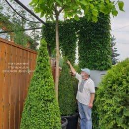Самшит вечнозелёный Конус (Buxus sempervirens Konus) ФОТО Питомник растений Природа (18)
