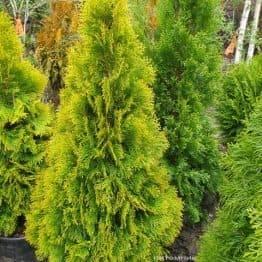 Туя западная Джанед Голд (Голден Смарагд) (Thuja occidentalis Janed Gold Golden Smaragd) ФОТО Питомник растений Природа (10)