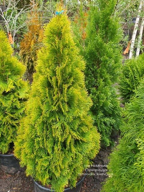 Туя західна Джанед Голд (Голден Смарагд) (Thuja occidentalis Janed Gold Golden Smaragd) ФОТО Розплідник рослин Природа (10)