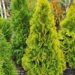 Туя западная Джанед Голд (Голден Смарагд) (Thuja occidentalis Janed Gold Golden Smaragd) ФОТО Питомник растений Природа (11)