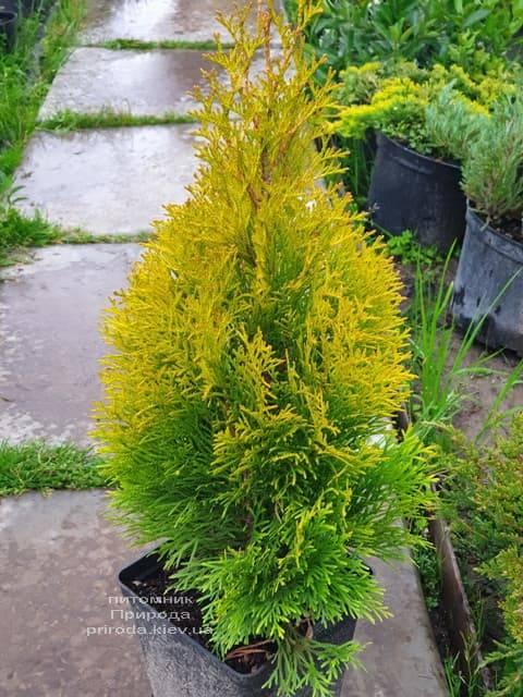Туя западная Джанед Голд (Голден Смарагд) (Thuja occidentalis Janed Gold Golden Smaragd) ФОТО Питомник растений Природа (12)