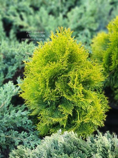 Туя западная Джанед Голд (Голден Смарагд) (Thuja occidentalis Janed Gold Golden Smaragd) ФОТО Питомник растений Природа (14)