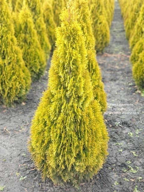 Туя західна Джанед Голд (Голден Смарагд) (Thuja occidentalis Janed Gold Golden Smaragd) ФОТО Розплідник рослин Природа (7)