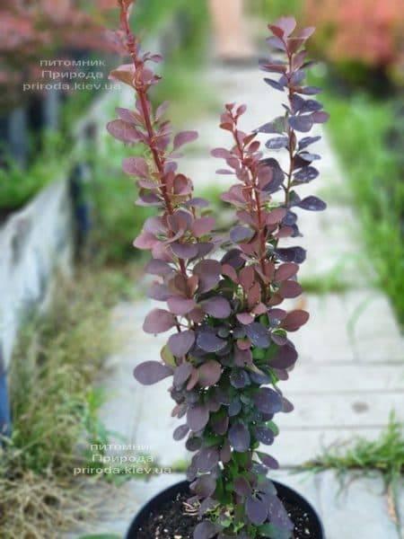Барбарис Тунберга Дариус (Berberis thunbergii Dariusz) ФОТО Питомник растений Природа (1)