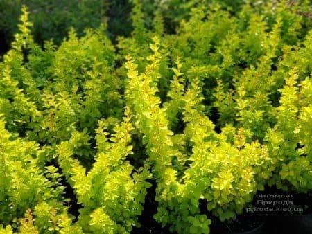 Барбарис Тунберга Голден Тауэр (Berberis thunbergii Golden Tower) ФОТО Питомник растений Природа (5)