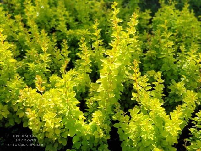 Барбарис Тунберга Голден Тауэр (Berberis thunbergii Golden Tower) ФОТО Питомник растений Природа (6)